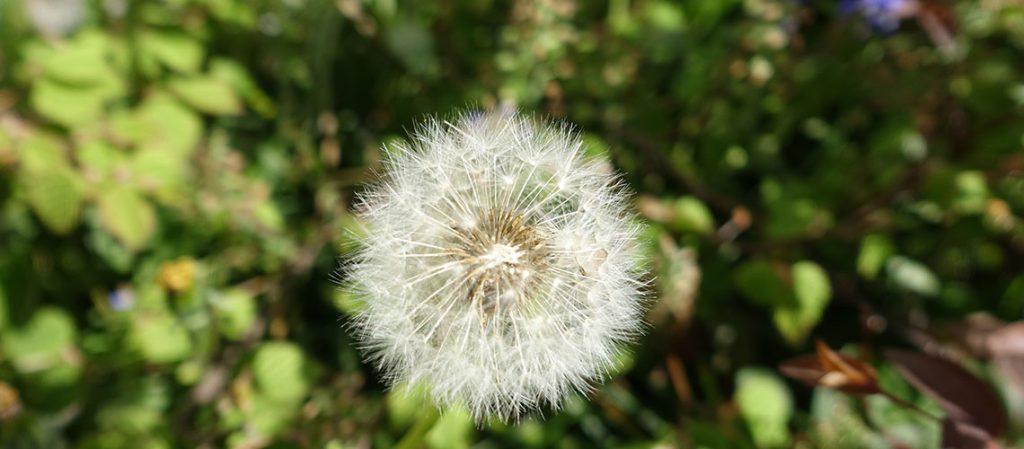 Pusteblume, Löwenzahn, Symbolbild Sternenkinder Engelskinder